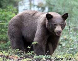 Backyard Bear