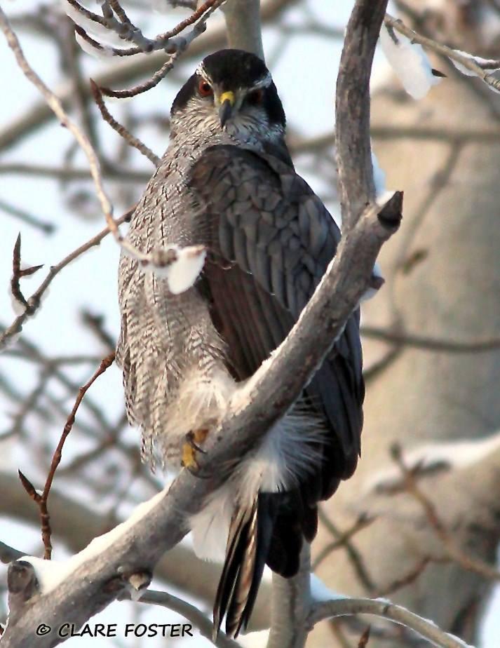 Valley Hawk