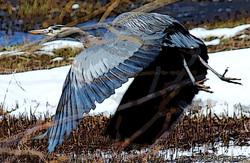 blu herron fly