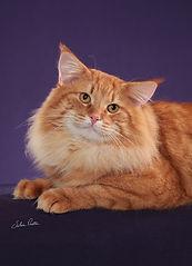 gato macho Noruegues da Floresta filhote venda