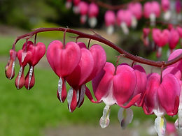 HD-Bleeding-Heart-Wallpapers.jpg