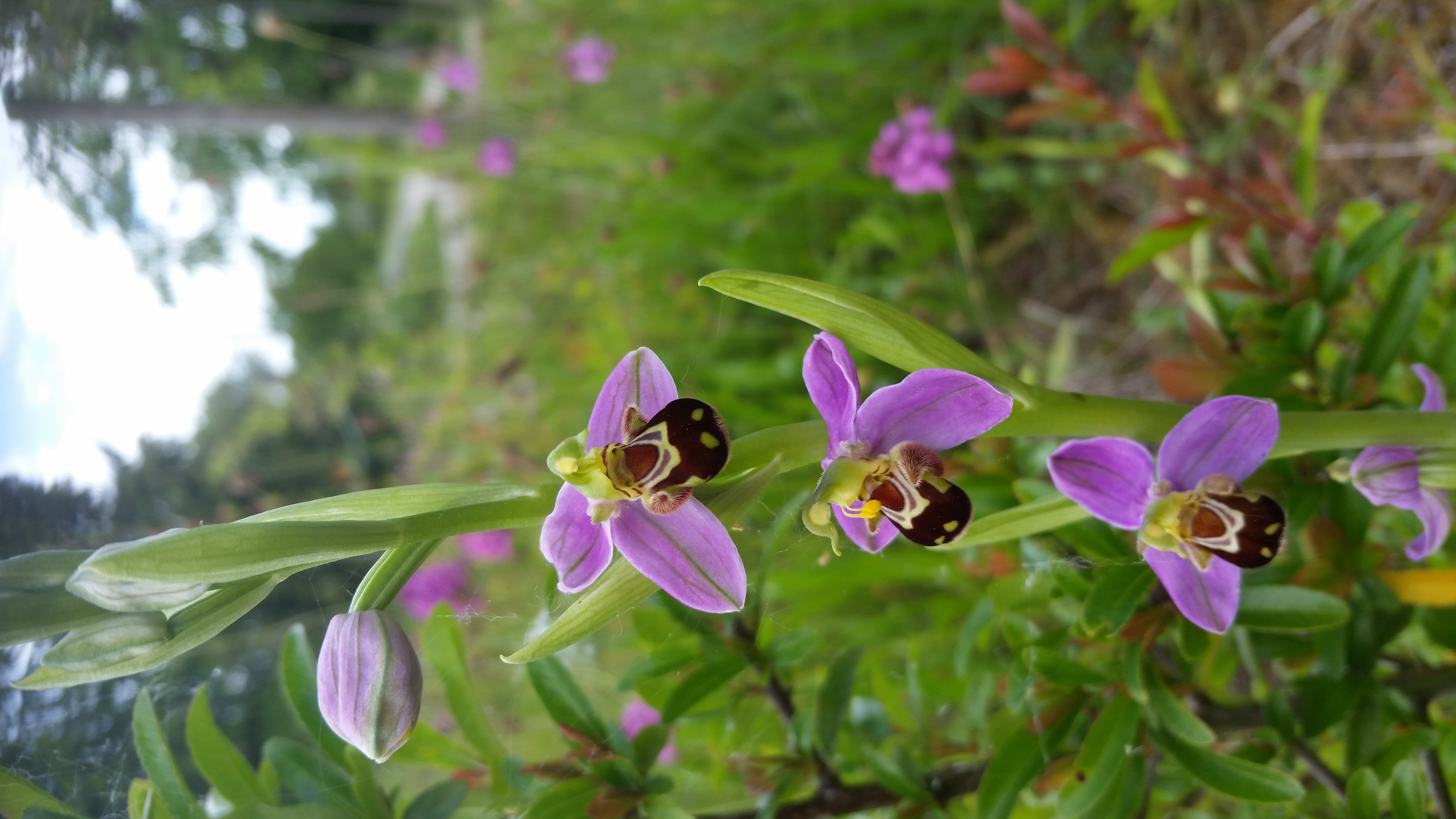 Bee Orchid by Robin Croughton
