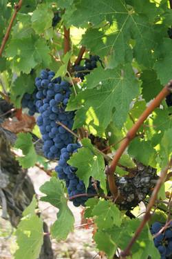 Grapes at Grand Mayne