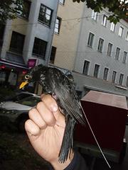 blackbird tag 1.png