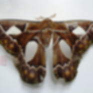 lepidoptera 47(dorsal).JPG