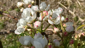 Celina trær i blomsting