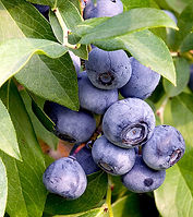 532px-Blueberries_on_branch[1] - Copy.jp