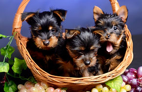 Volitans-kennel-australian-silky-terrier-puppies