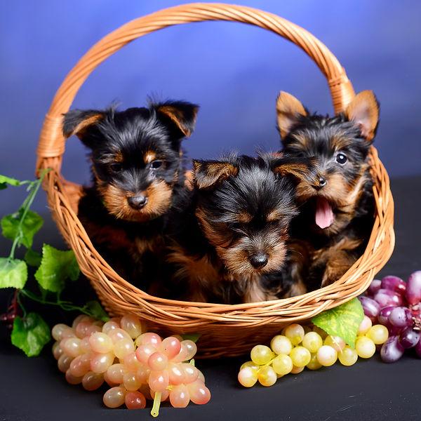 Volitans puppies
