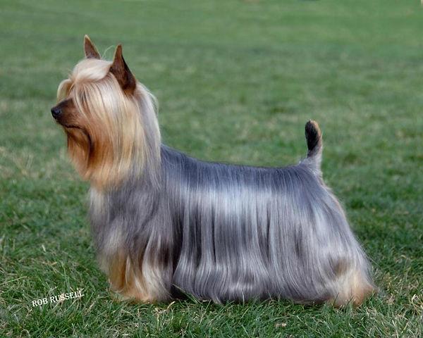 Silky terrier standart