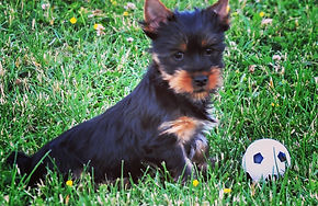 Volitans kennel australian silky terrier puppies for sale