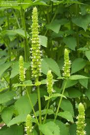 Yellow Giant Hyssop