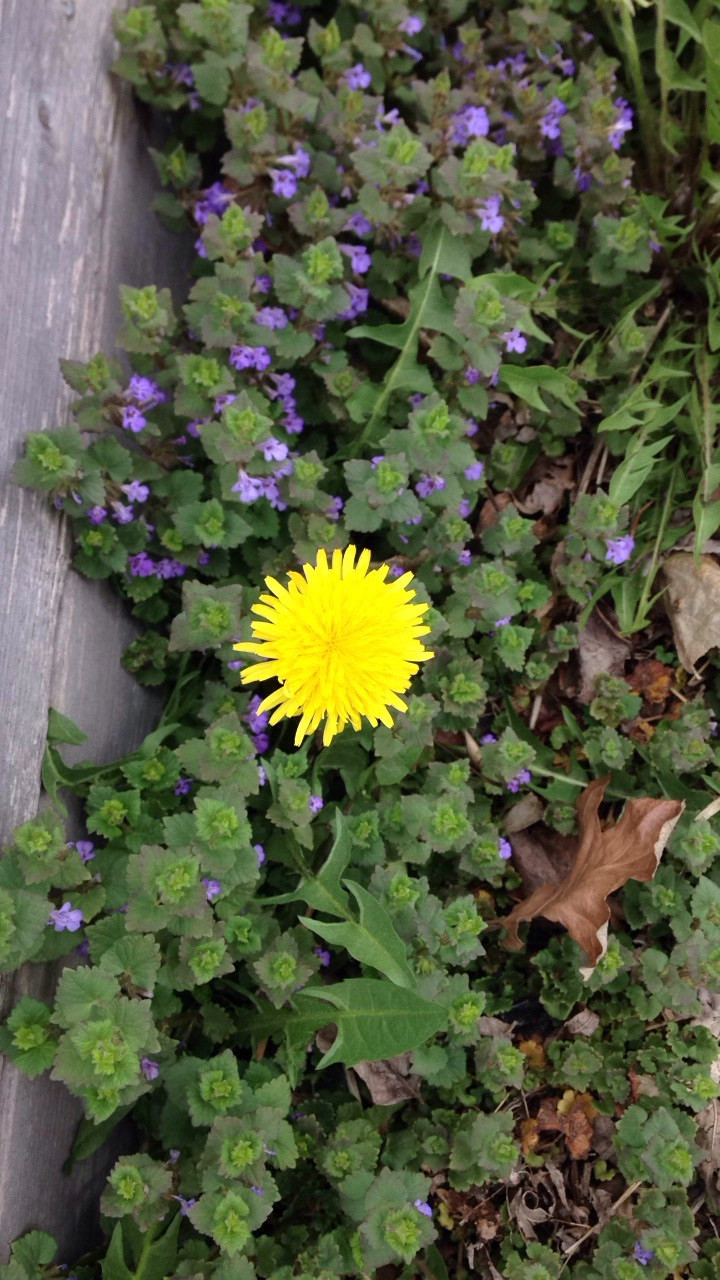 Dandelion with Flowering Creeping Charlie=Best Complimentary Plants/Colors/Artist