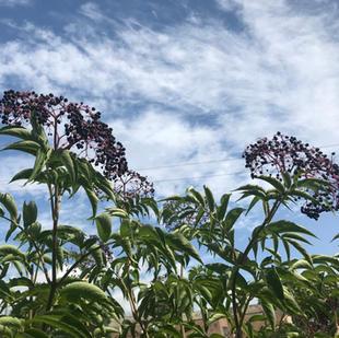 Elderberry: Sambucus nigra canadensis