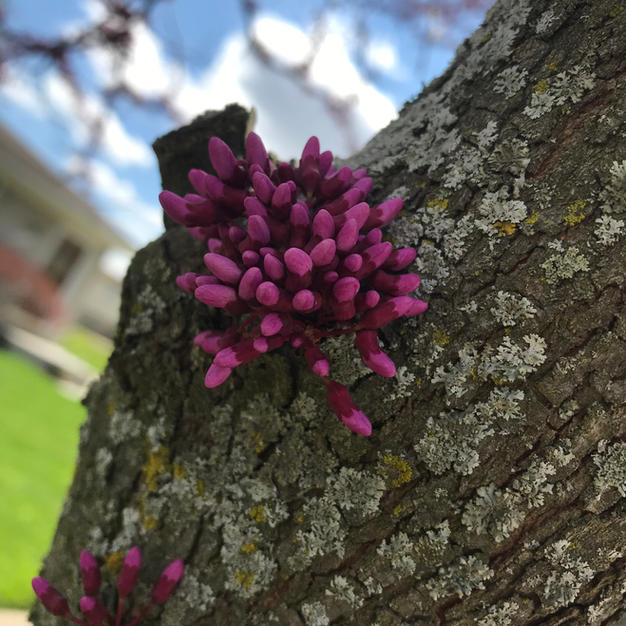 Redbud: Cersis canadnsis