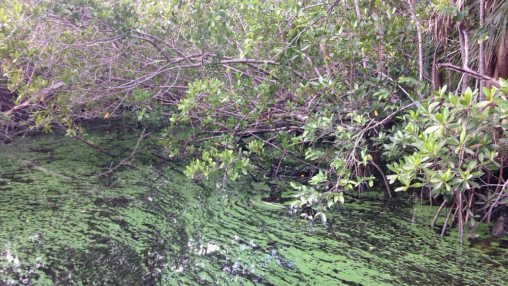 Green algae being filtered by the mangroves in Cape Coral, FL