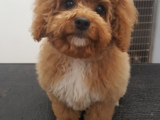 Totally Spoilt Rotten and Adorable Alfie, the Cockerpoo