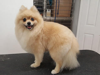 Lovely Wilson the Pomeranian after his full body scissor...