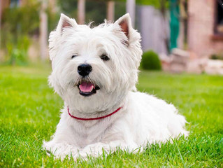 Do you have a West Highland White Terrier?