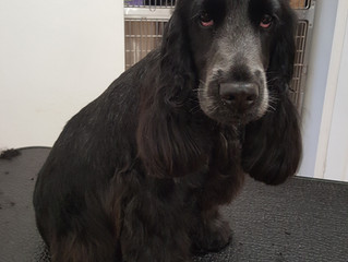 Look at these eyes, Cosmo the Cocker Spaniel