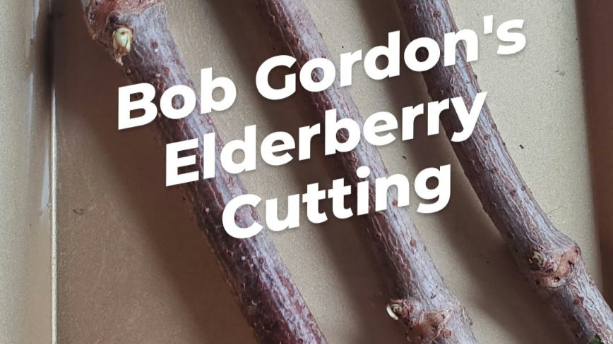 Bob Gordon's Elderberry Cuttings (3) preorder