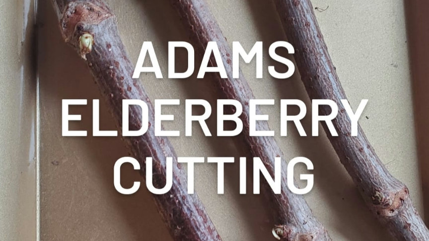 Adams Elderberry Cuttings (3) pre order