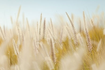 wheat-690912_960_720.jpg