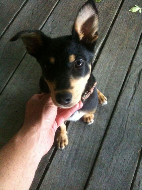 Image of Australian Kelpy dog