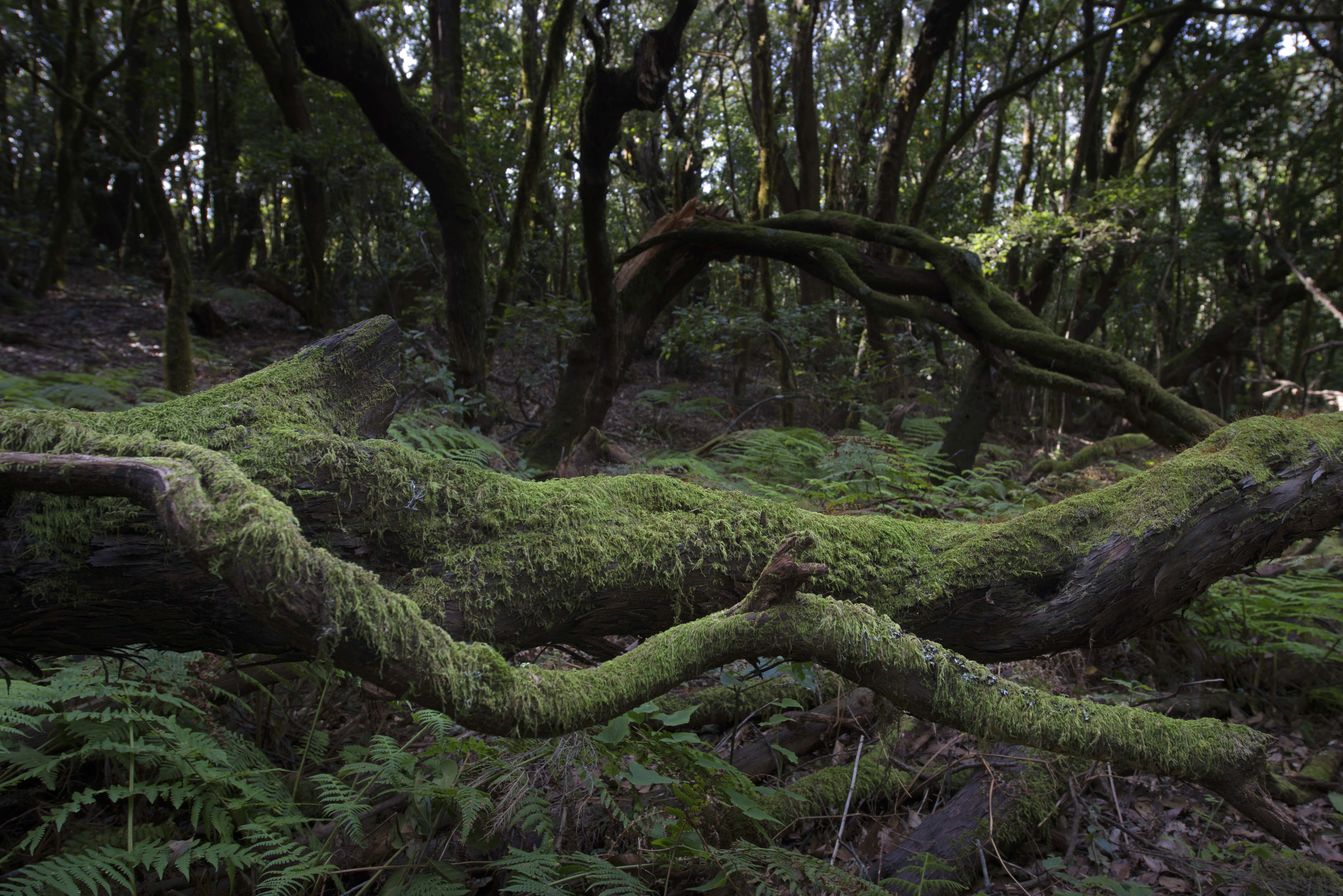 LaGomera_Garajonay_Tree