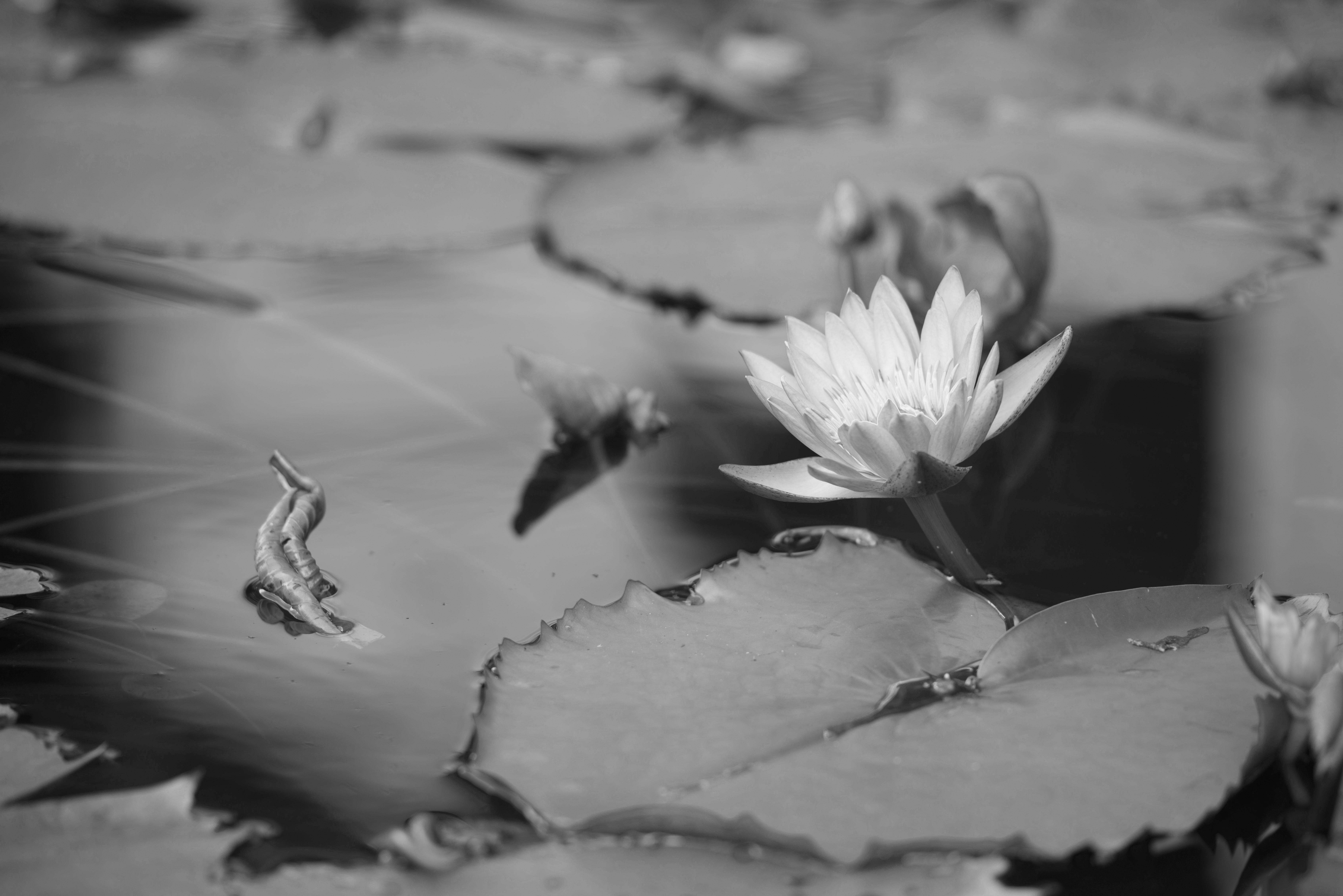 Lotus_3_sh