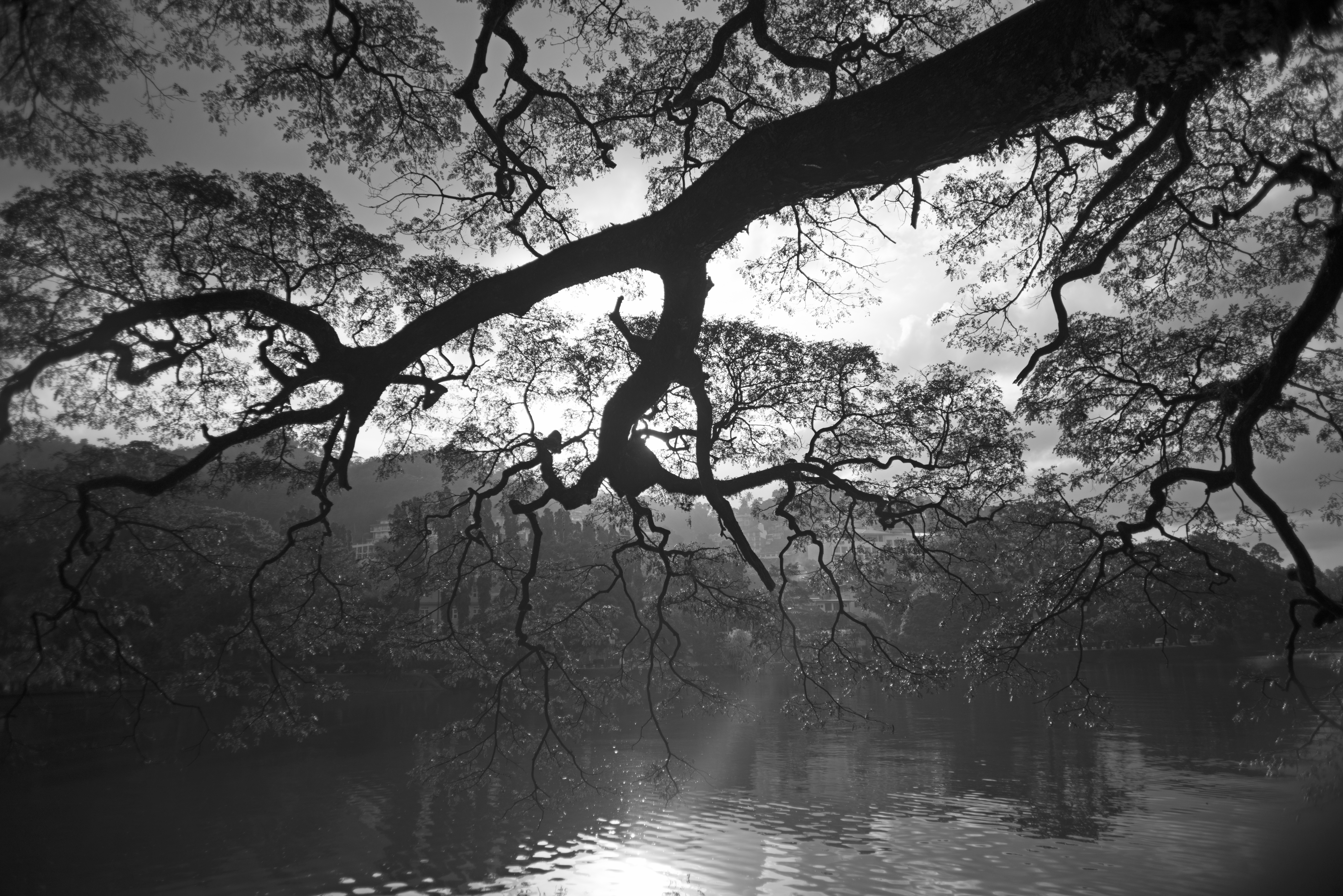 Undertræ_sh_kandy_lake