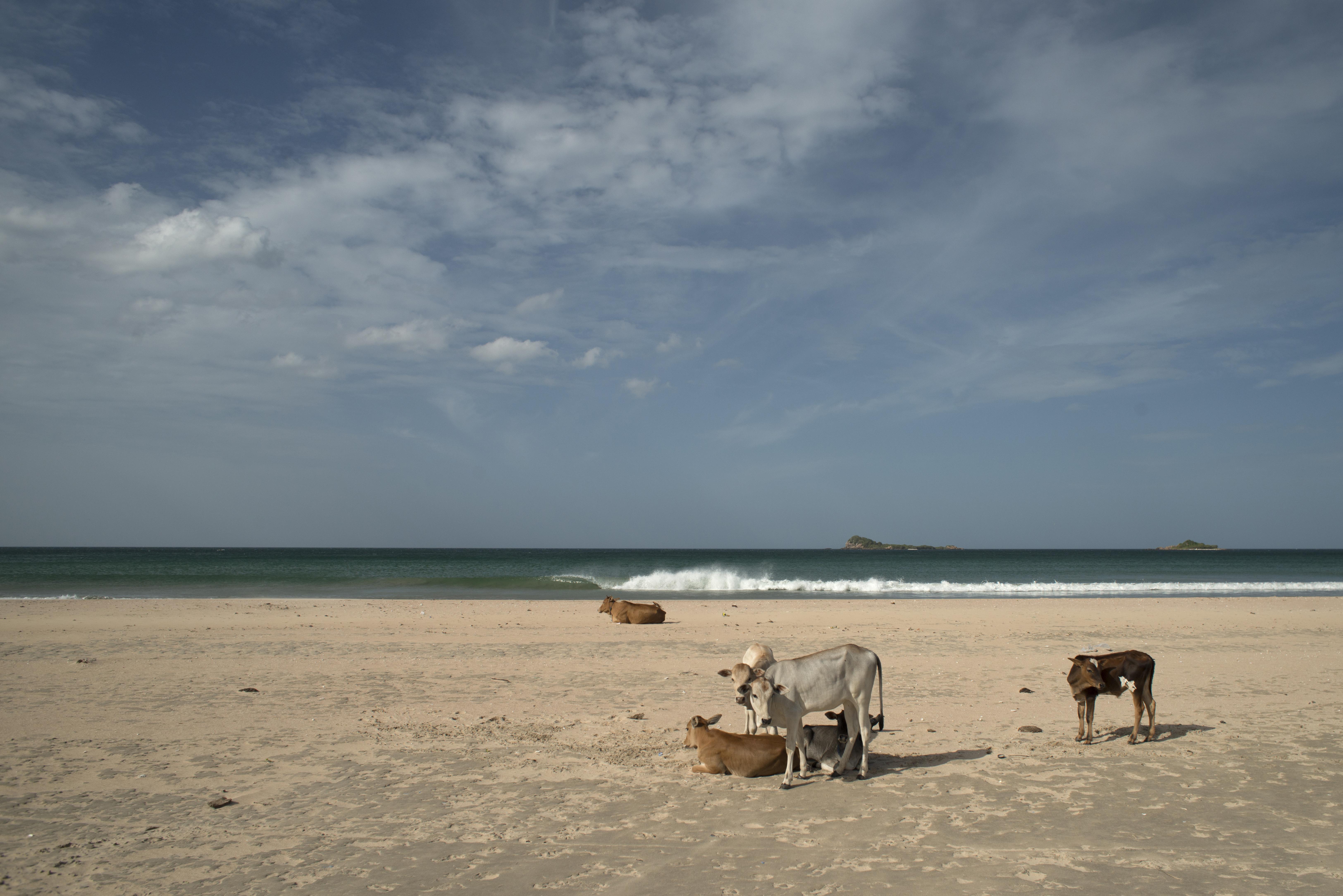 Nilaveli_Beach_Cows_s