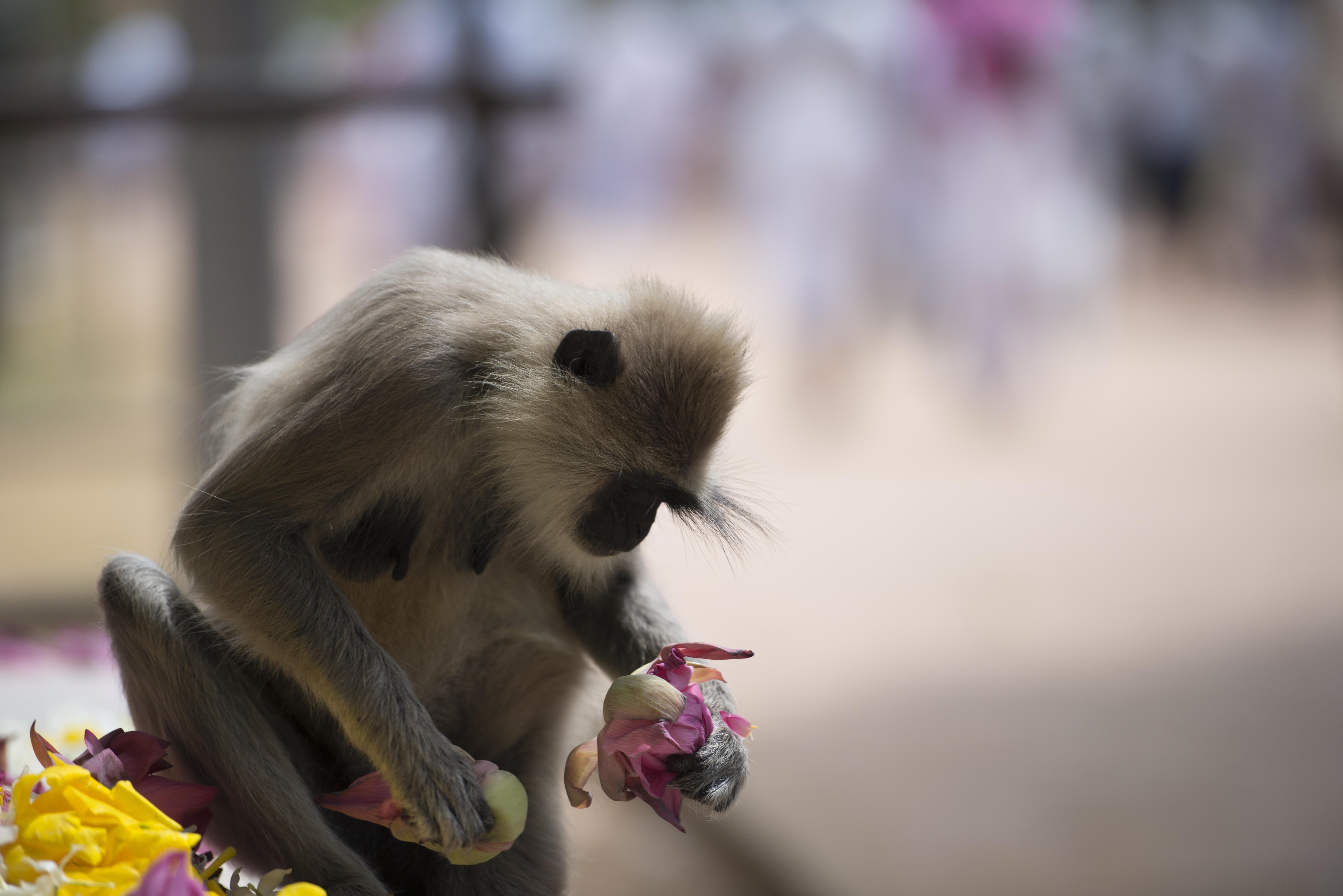 Black face monkey_1