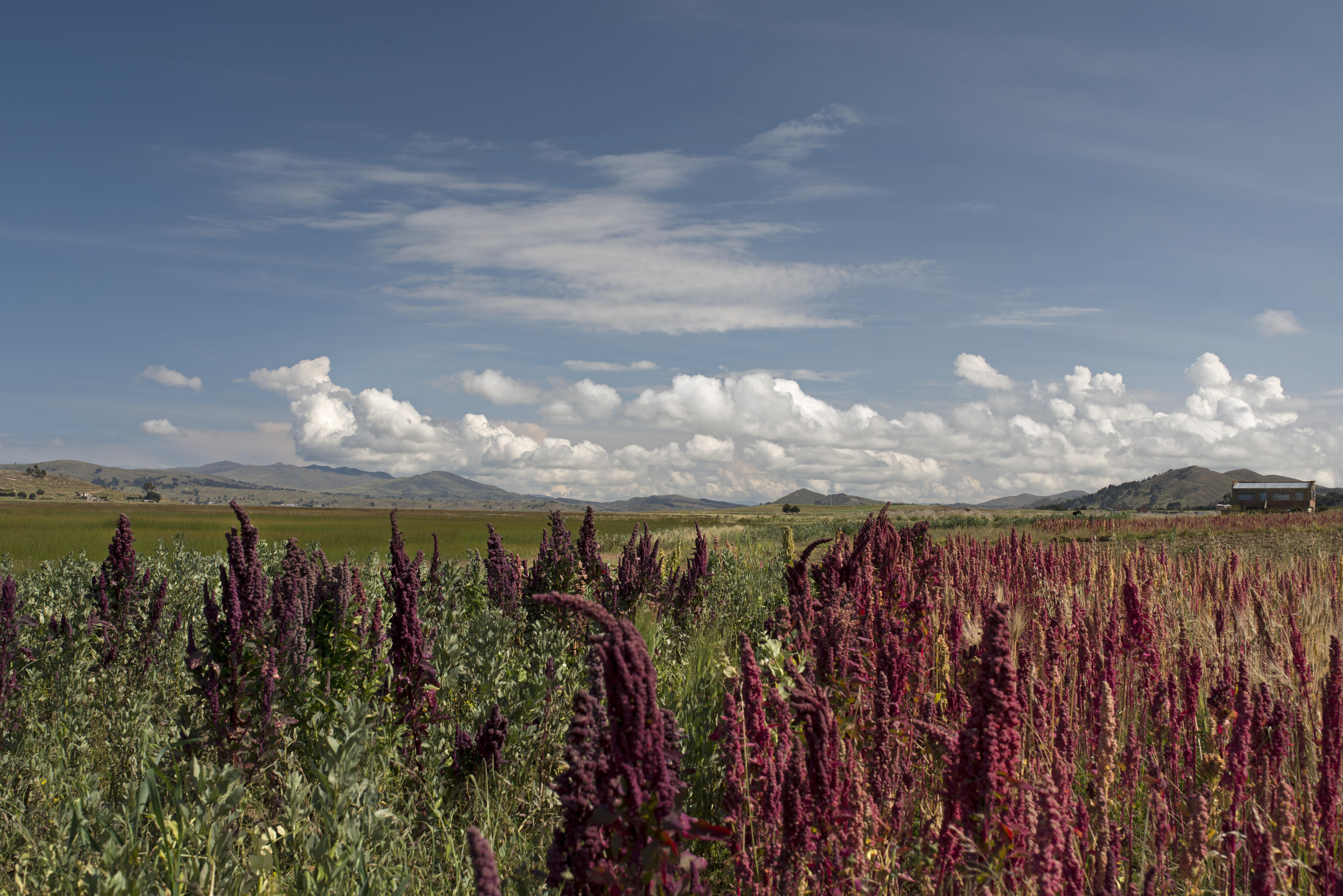 Quinoa field titicaca