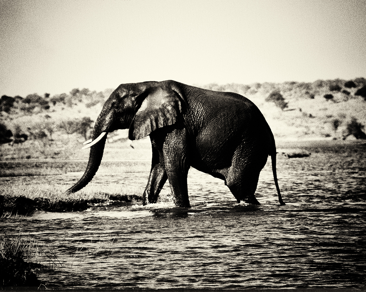 The Elephant of Botswana