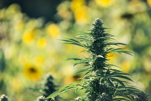 Time-Honored Dry Farming Practices Yield Premium Cannabis at Eel River Organics