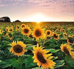 sunflower-field_edited.jpg