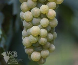 The Bacchus grape, popular for British sparkling wine, is a hybrid of