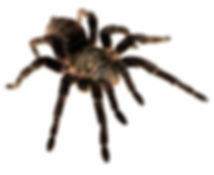 spider phobia arachnophobia.jpg