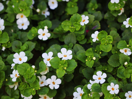 BRAHMI: Getting to Know Herbs