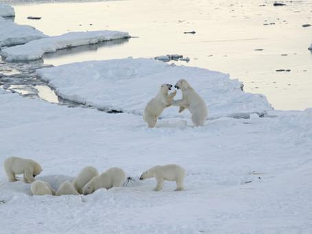 An updated look at polar bears in the Russian Arctic/Новый взгляд на белого медведя в Российской Арк