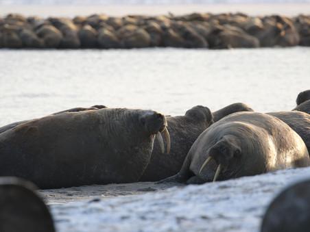 Ямальские моржи