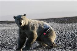 отбор биопсии от белого медведя