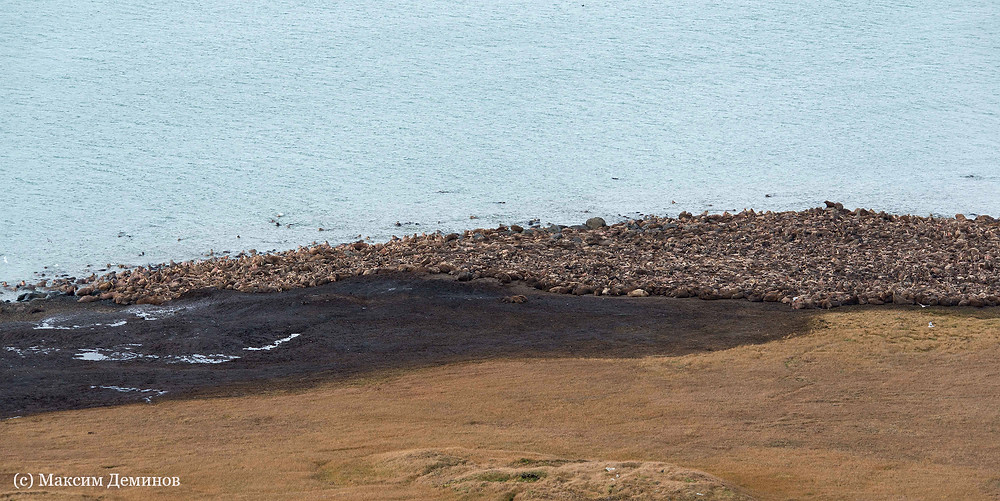 Лежбище тихоокеанских моржей на м. Кожевникова