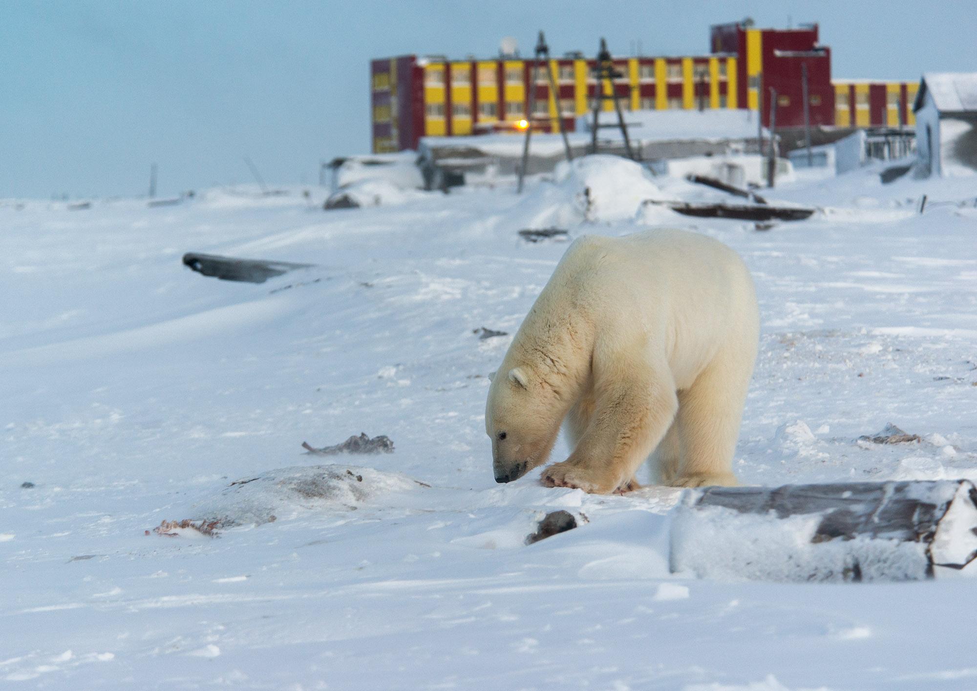 белый медведь в с. Рыркайпий