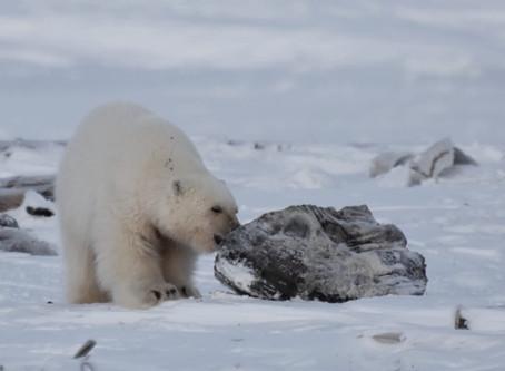 Впервые белого медвежонка-сироту удалось вернуть в природу