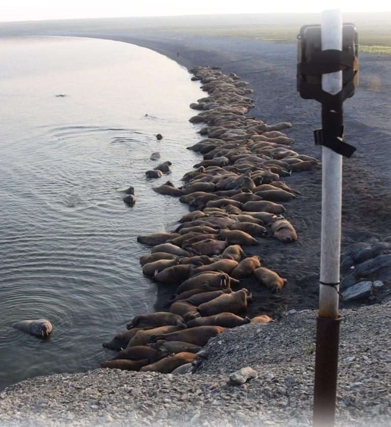 фотоловушка на лежбище моржей