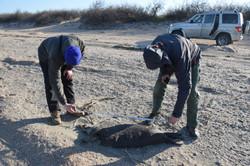 гибель Каспийских тюленей, Дагестан