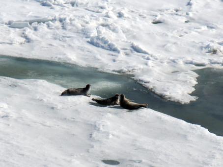 Нерпа Белого моря - первый  «кандидат» на статус обособленной популяции арктической кольчатой нерпы
