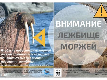 Вступили в силу правила посещения лежбищ моржей на ООПТ на о. Вайгач